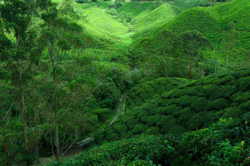 キャメロンハイランドに広がる茶畑
