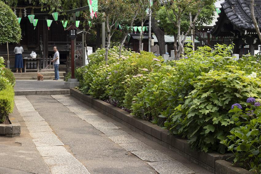 文京白山神社 アジサイ